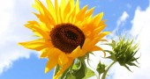sunflower-kalman