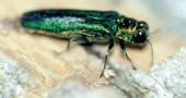 The emerald ash borer, an invasive species native to Asia, was discovered in North America in 2002, and has been infecting Ohio trees since as early as 2003. (Photo: http://www.agri.ohio.gov/eab)