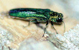 The emerald ash borer, an invasive species native to Asia, was discovered in North America in 2002, and has been infecting Ohio trees since as early as 2003. (Photo: ODNR)