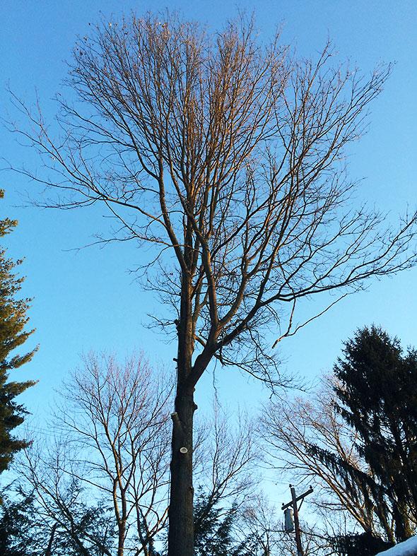 suffering pin oak