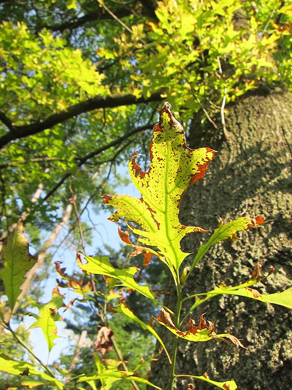 sensitive leaves to heat and drought