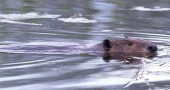 One of the beavers present in the Glass Farm wetland. (submitted photo by Scott Stolsenberg)
