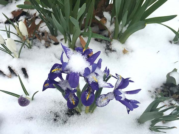 Springtime beauties at Mills Lawn School were blanketed by unexpected snow Monday afternoon. (Photo by Matt Minde, courtesy of Suzanne Ellis's iPhone)