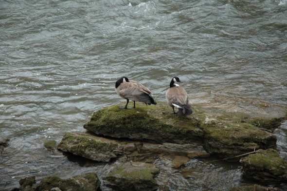 Two geese enjoy the view of the Little Miami River from a moss-covered rock at the Clifton Gorge State Nature Preserve. The gorge's Nature Center opens for the season on Sunday, April 4. (Photo by Lauren Heaton)