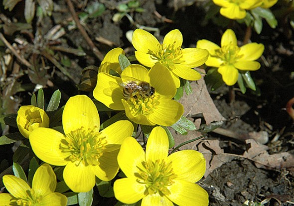 Blooming aconite played host to busy bees on one of the first days of spring-like weather. (Photos by Matt Minde)