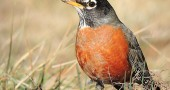 An American robin, the original early bird. (Photo by Dakota Lynch)