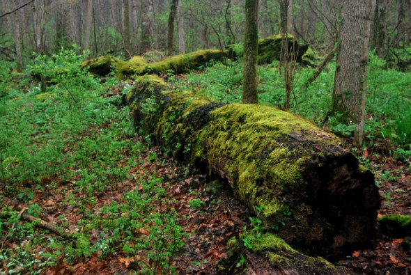 A miasma of deep green makes the forest breathe and come alive. (photo by Aaron Zaremsky)