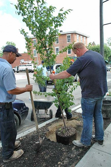 On Wednesday morning, May 27, Village of YS crew workers and YS Tree Committee worked together to plant seven downtown trees including Princeton elm, American hornbeam, yellowwood and Greenspire linden. The trees were chosen for their vibrant flowering colors, variations of leaves and differing tree shapes. (Photo by Suzanne Szempruch)