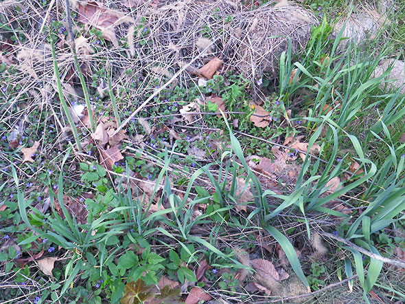 a line of garlic emerges from the perennial garden