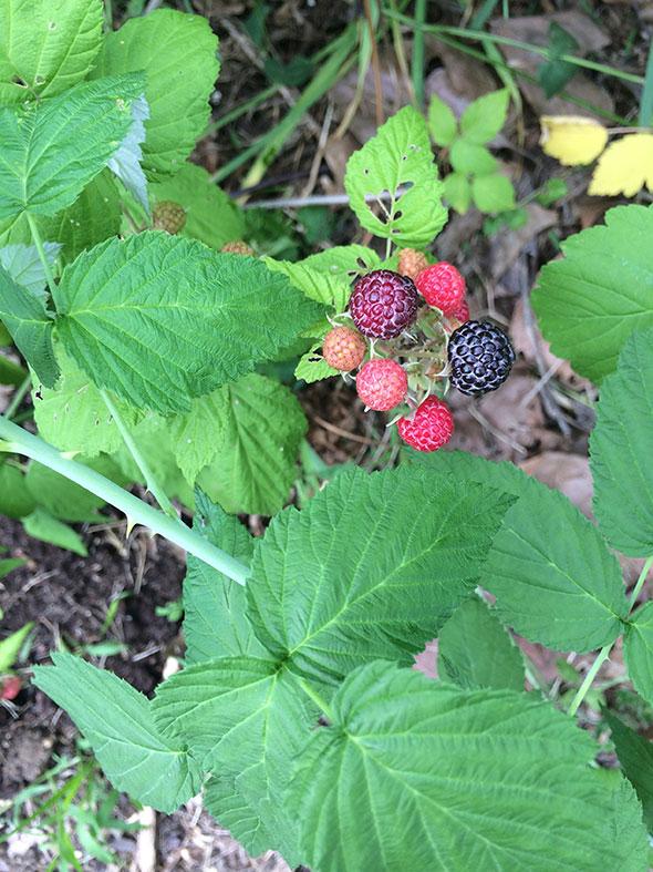 black raspberry bush
