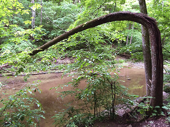 collapsed tree across Birch Creek
