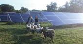 "Antioch College's eight ""self-fertilizing lawnmowers"" arrive at the Antioch College Farm to manage vegetative growth around the five-acre solar array. (Submitted photo)"