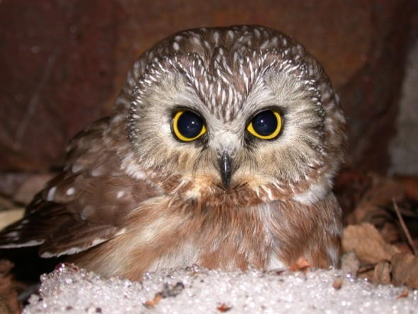 Eyes wide shut? The northern saw-whet owl is a fierce sleeper. Photo by Albert Herring for the Superior National Forest, MN.
