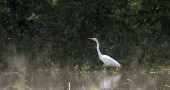 A great egret pauses to display its elegant white plummage in the wetland at Glass Farm. The egret is one of numerous birds and other species of wildlife that have been spotted in the area. Last week, Village Council gave a green light on submitting a Clean Ohio grant application to preserve the area and make it accessible for low-impact recreation. Tecumseh Land Trust will take the lead on the grant. (Submitted Photo by Scott Stolsenberg)