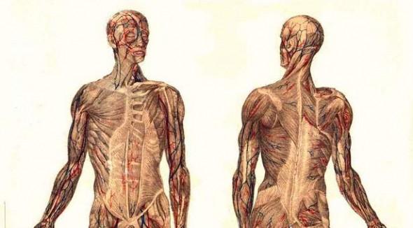 Muscular_System-wikimedia-meyers-public-domain