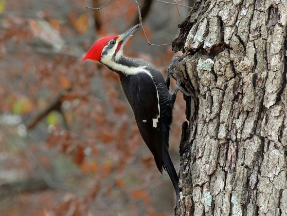 Rat-tat-tat! Pileated woodpecker at work. Fourteen of these were spotted during the recent Christmas Bird Count in Glen Helen and environs. (Image from Wikipedia)
