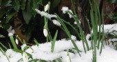 Snowdrops, after calling down the snow. (Photo via Wikimedia)