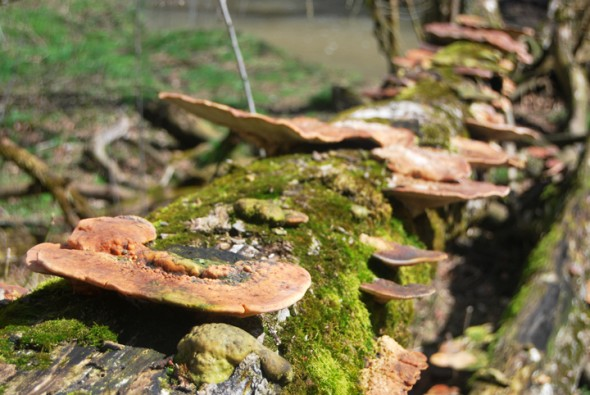 The Glen in spring offers many gifts and hints at things to come in the season, and converts the old to the new. Here, mushrooms line a rotting log in the Glen. (Photos by Aaron Zaremsky)