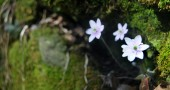 Stark white Hepatica peer out from the green stone crevasses.