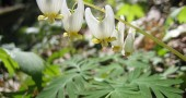 "Dicentra cucullaria, or ""Dutchman's Breeches,"" in bloom. (Photo by Biosthmors (Own work) [CC BY-SA 4.0 (http://creativecommons.org/licenses/by-sa/4.0)], via Wikimedia Commons)"