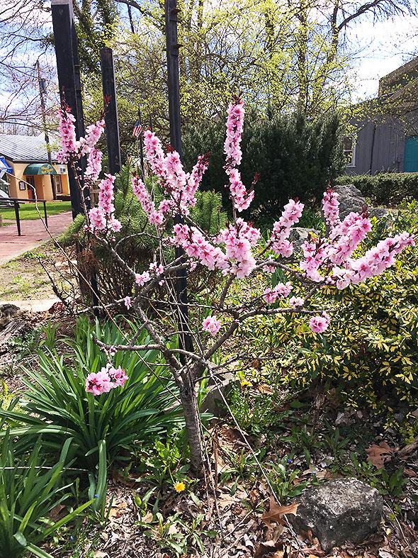 cherryBlossomsKingsYard
