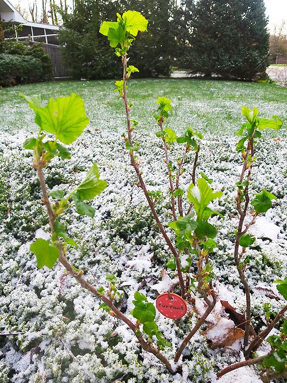 currant bush springs in snow