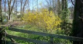 No fence can keep this color in. Forsythia bloomed in its paddock on Union Street this weekend. (Photo by Audrey Hackett)