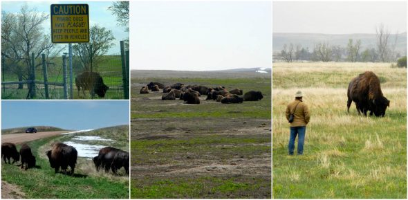 buffalo collage