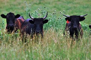 Cautious cattle during my initial approach of the heard.