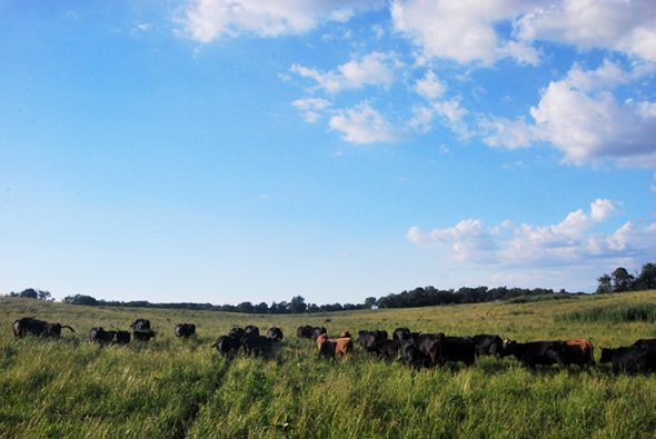 A heard of cattle make their way across the field.