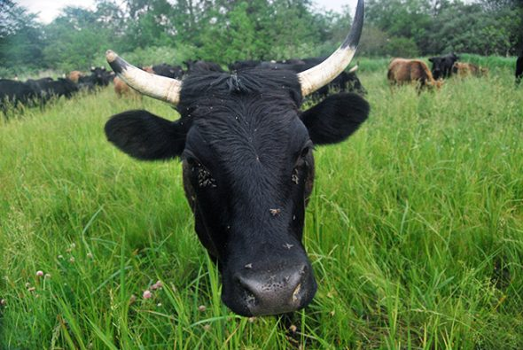 A cow stares me down during my study of their behavior on an organic farm (all photos by Aaron Zaremsky)