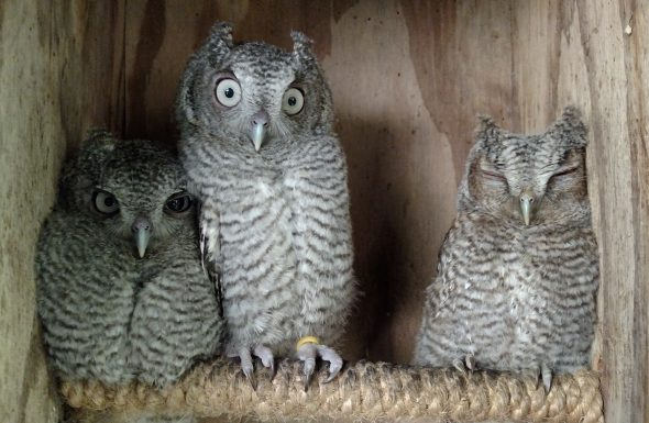 Young screech owls will be released back to the wild this Thursday, June 23. (Submitted photo)