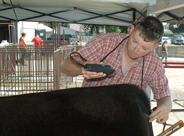 "Yellow Springs resident Austin Pence did some last minute primping and preening of the heifer that he and friend Jordin Snider showed in the Greene County Fair last week. Pence has been showing cattle for 13 years, and said that heifers should be big-boned and have a wide chest. Not too spread out, but not too close together. ""You want the heifers to look effeminate,"" he said, ""like they can carry a baby."" (Photo by Dylan Taylor-Lehman)"