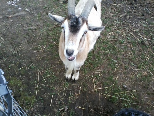 A goat sticks his tongue out at Schutte Farms in South Charleston, where the Tecumseh Land Trust will host a family event on Sunday. (Photo from tecumsehlandtrust.org)
