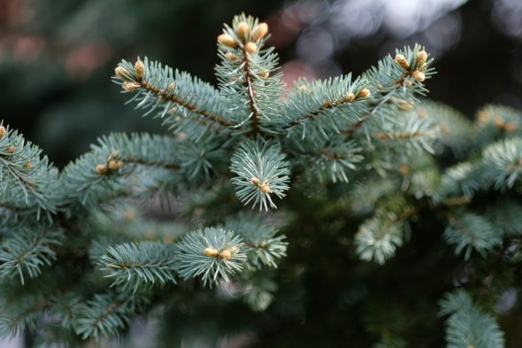 The Village of YS will pick up Christmas trees around the village on Jan. 8 and 9.