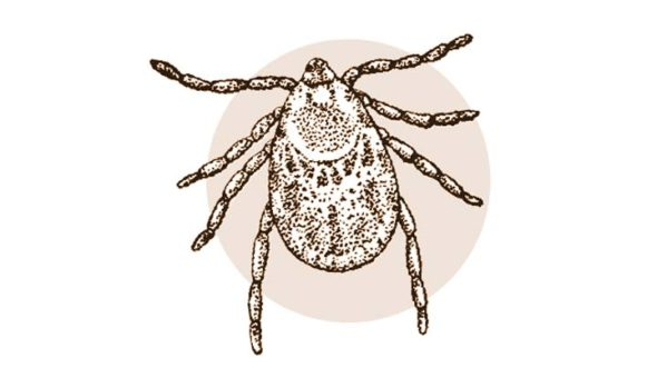 Fig. 1: The common blacklegged or deer tick, Ixodes scapularis.