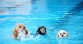 Three tiny dogs who clearly enjoyed each other's company as much as their dip in Labor Day's Gaunt Park Pool Doggie Splash fundraiser. (Photo by Aaron Zaremsky)