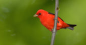 A male scarlet tanager in its summer plumage. One scarlet tanager (in subdued winter plumage) was spotted in the local Christmas Bird Count. (Photo via Wikipedia)