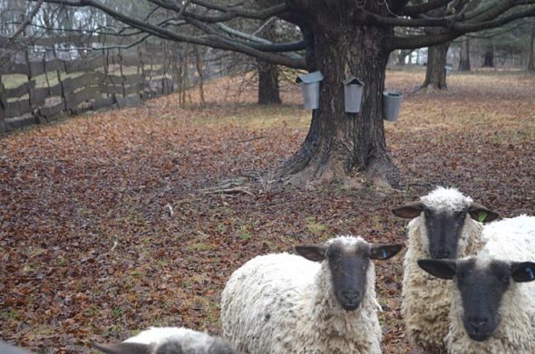 A family-friendly tour of Flying Mouse Farm, owned by John DeWine and Michelle Burns, with its sugar shack and maple sugaring operation will take place this Sunday, March 4, from 2 to 4 p.m. at the farm at 100 E. Fairfield Pike. Attendees should dress for muddy conditions. (Photo by Will Drewing)
