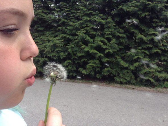 Eliza blows the seeds from a dandelion stalk (Photo by Matt Minde)