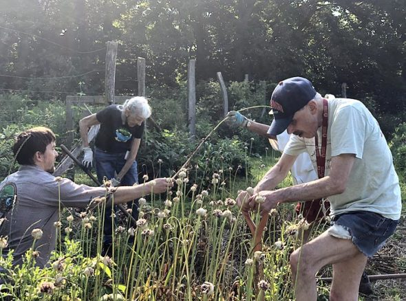 Around 70 volunteers are on the Antioch College campus this week for the annual work project ahead of the college's reunion this weekend. Pictured harvesting garlic on the Antioch College Farm are, from left, Yunus Brevik, class of 2003, Mary Bowman, class of 1949, and David Nekimken, class of 1968. (Submitted Photo by James Lippincott)