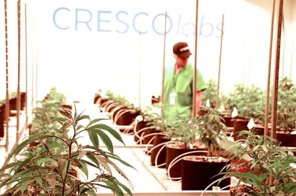 Cultivation agent Jerico Castillo pruned cannabis plants this week in an indoor greenhouse at Cresco's medical marijuana facility in Yellow Springs. Visit ysnews.com for more photos from the Cresco tour. (Photo by Megan Bachman)