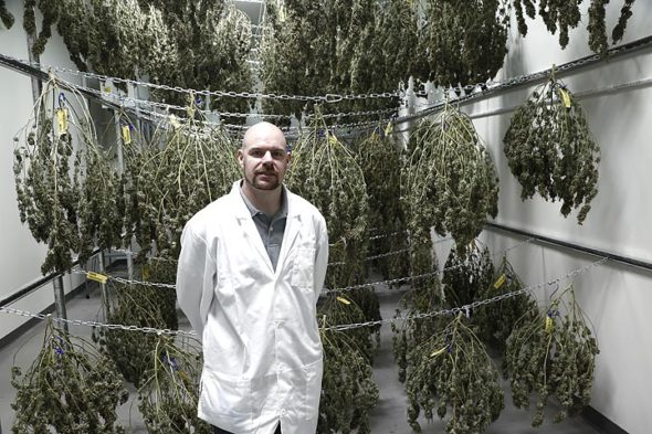 "Last week, Dennis Plamondon, director of cultivation at Cresco Labs in Yellow Springs, stood before some of the first crop of cannabis harvested a few days before Christmas. The plants will dry before they are ""deboned,"" packaged and sold as flowers to dispensaries around the state. Medical marijuana has yet to hit the shelves as several aspects of Ohio's program are not yet fully operational. (Photo by Gary McBride)"