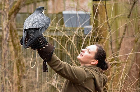 Rebecca Jaramilla, director of the Raptor Center at Glen Helen Nature Preserve, handled Velocity, a female peregrine falcon, during a raptor photography program at the center on Sunday, Feb. 24. (Photo by Luciana Lieff)