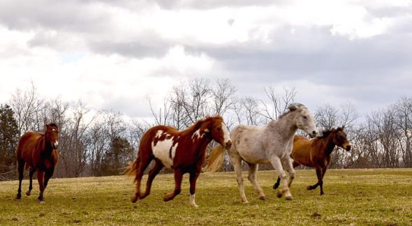 Iggy, the white gelding, Doc, Buddy and Tank make a day of it on the pastures behind the Riding Centre. (Photo by Luciana Lieff)