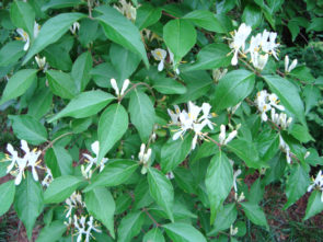 Amur honeysuckle in bloom (Annemarie Smith, ODNR Forestry)