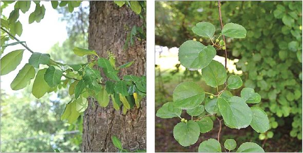 Two invasives: Wintercreeper/euonymus, left, and Asian bittersweet, right, are two non-native invasive climbing vines widespread in Yellow Springs.  (Photos by Audrey Hackett)