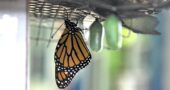 A newly eclosed monarch butterfly hung near its now-transparent burst chrysalis, gathering its strength to fly. Other chrysalids waited for the magic event to seize them. This particular monarch was the first one raised this season on the author's North High Street porch. (Photo by Audrey Hackett)